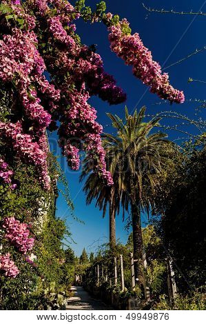 Flowering Bougainvillea Plant And Palm Trees