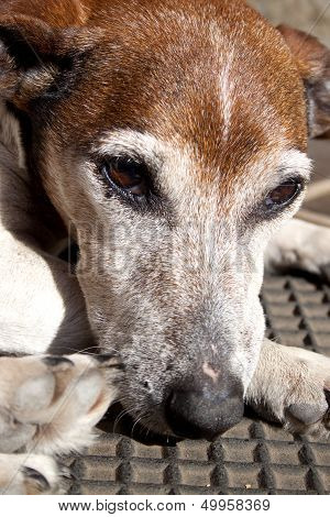 Old Grey Jack Russell