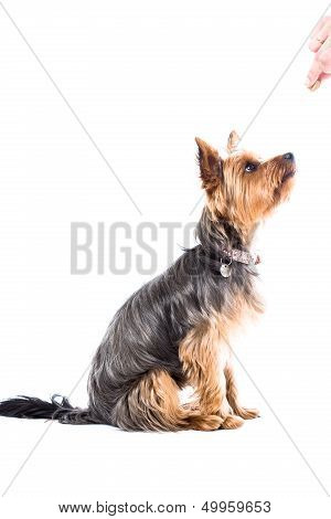 Yorkshire Terrier Waiting For Treats