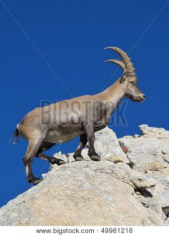 Master climber alpine ibex rare wild animal. poster