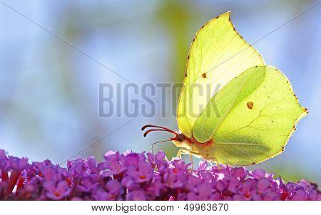 Brimstone Butterfly (Gonepteryx rhamni)