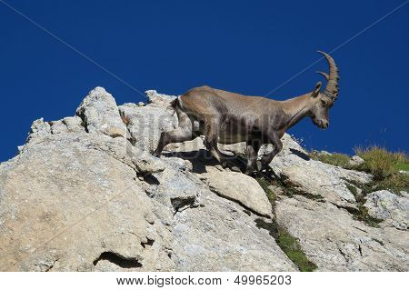 Beautiful young alpine ibex walking on a rock. poster