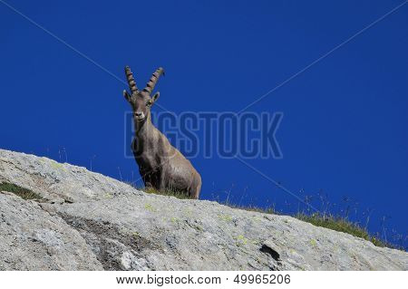 Alpine ibex looking down from a rock. poster