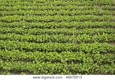 Crops Of Mustard As A Green Manure An Field