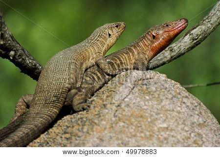 Giant plated lizards mating