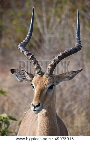 Portrait of an Impala ram