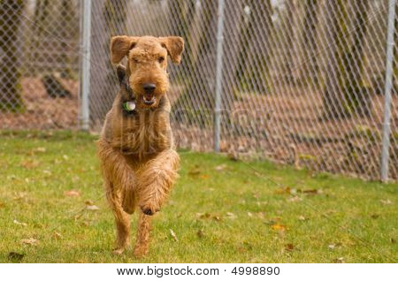 Active Airedale Terrier Dog Running Outside In The Fenced Backyard