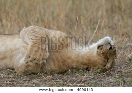 Lion Cub Being Cute