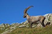 Standing alpine ibex wild animal living in high altitude. poster