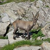 Cute alpine ibex baby rare wild animal living in the Alps. poster