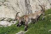 Two alpine ibex rare wild animals living in the Alps. poster