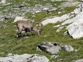 Young alpine ibex grazing on a meadow with wildflowers. poster