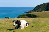 Cow in a field and view of the Cornish coast in Cornwall England UK poster