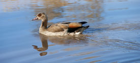 Egyptian Goose swimming