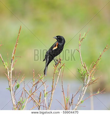 Red-winged Blackbird, male.