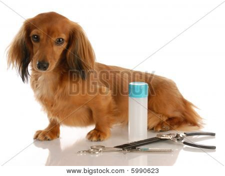 Dachshund With Grooming Supplies