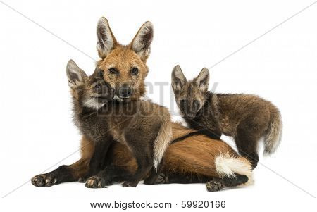 Maned wolf mom and cubs cuddling, looking at the camera, Chrysocyon brachyurus, isolated on white poster