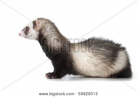 young ferret is isolated over white background poster