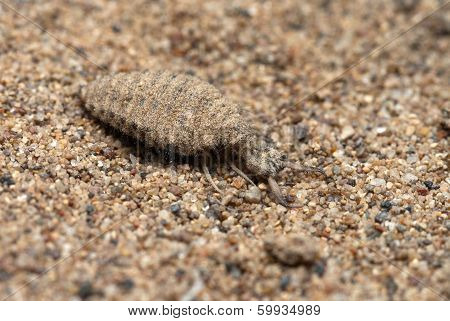 The Antlion Larva