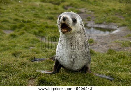 Barking Seebär in leichter Schneefall fallen