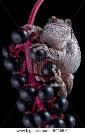 Gray Tree Frog On Black Berries