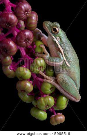 Green Tree Frog On Berries