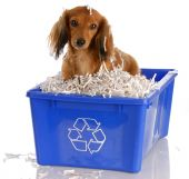 long haired miniature dachshund sitting in blue recycle bin poster