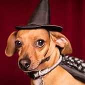 Cute Chiweenie dog dressed as witch with hat and cape for Halloween poster