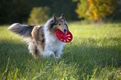 Rough Collie or Scottish Collie is playing over nature background poster