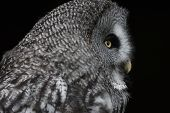 A captive Great grey Owl Strix nebulosa head and shoulders in profile. poster