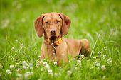 Hungarian Vizsla pointer dog outdoor poster