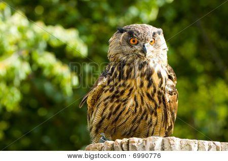 Portrait Of An Owl Head