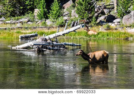 Wildlife In One Of The Many Scenic Landscapes Of Yellowstone National Park, Wyoming, Usa poster