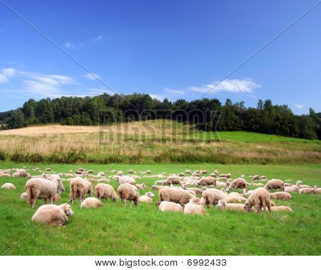 Sheeps On A Green Meadow
