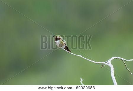Broad Tailed Hummingbird Sitting On Pine Twig Tree