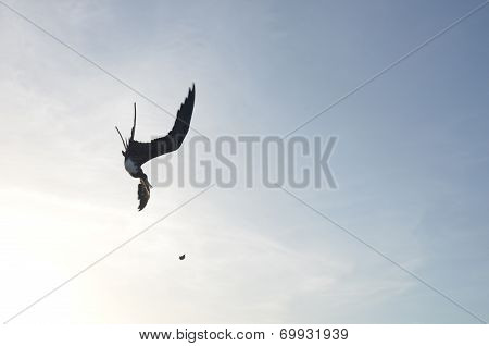 Frigate bird diving for food