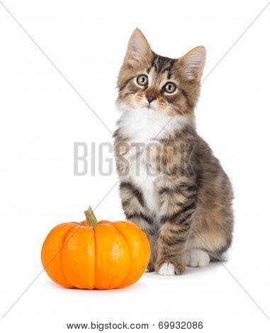 Cute Kitten With Mini Pumpkin On White.