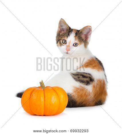 Cute Calico Kitten With Mini Pumpkin On White.