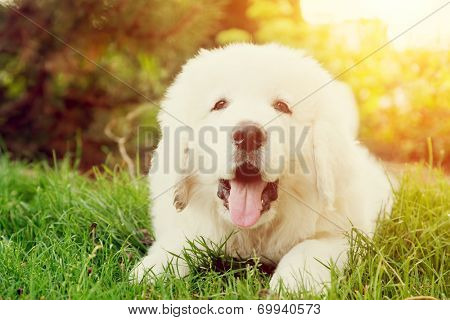 Cute white puppy dog lying on grass. Polish Tatra Sheepdog, known also as Podhalan or Owczarek Podhalanski