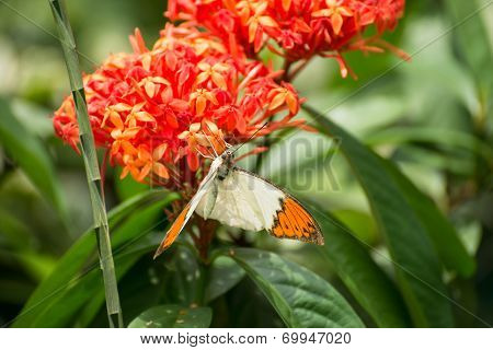 The Great Orange Tip Butterfly On Ixora Flowers Close Up