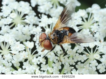 Fly Tachina On A Flower