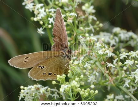 Small brown butterfly (Meadow Brown) on the flower poster