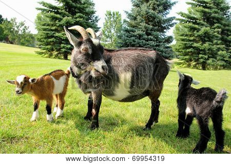 Mother Goat And Two Babies Eating Grass