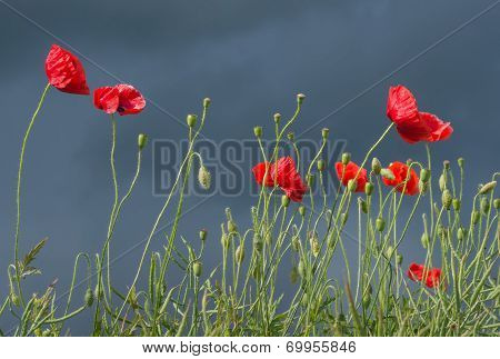 Field of red corn poppy flowers