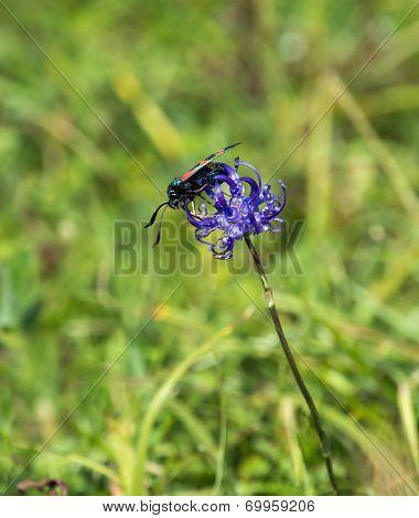 Daytime-flying Six-spot Burnet Moth feeding on Round-headed Rampion poster
