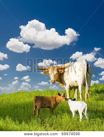 Longhorn Cow And Calves