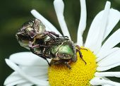 Mating bugs rose chafer (Cetonia aurata) on a flower. poster