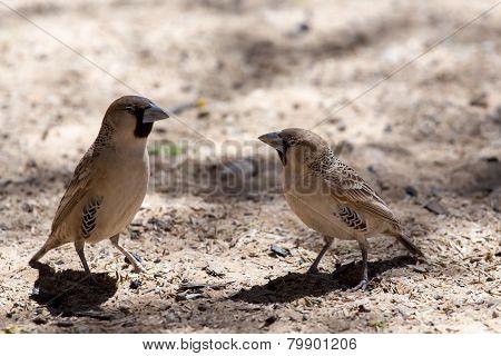 Sociable Weaver Bird At Kgalagadi