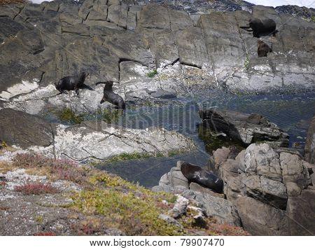 Fur seals on the rocks