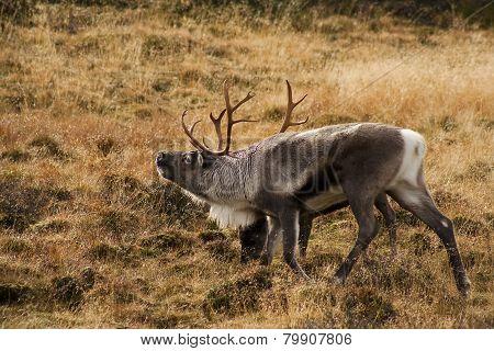 reindeer bull